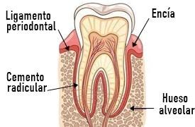 que es el periodonto