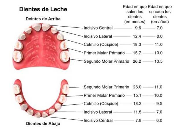 etapas-denticion